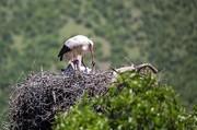 تصاویر دیدنی از زندگی لکلکهای مهاجر در مریوان
