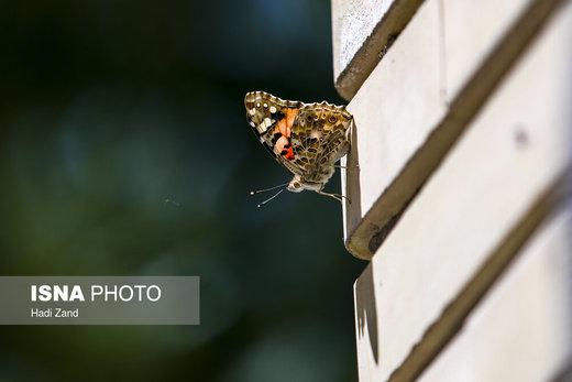 پروانهها در تهران