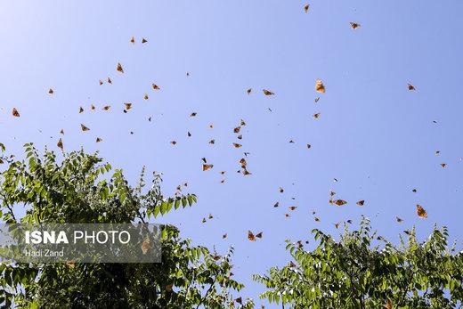موج دوم حضور پروانهها در تهران تا چه زمانی ادامه دارد؟