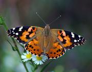 پروانههای «خانم قشنگ» خسارتزا نیستند