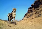 دغدغه جدید دوستداران محیط زیست؛ توقف بیمه پلنگ و یوزپلنگ