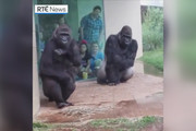 فیلم | فرار جالب گوریلها از خیس شدن در زیر باران