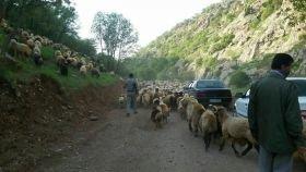 خروج دامهای غیرمجاز از مراتع منطقه حفاظت شده اشترانکوه
