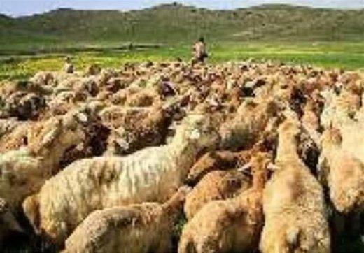 قاچاق گوسفند با اتوبوس مسافربری/ عکس