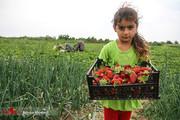 تصاویر | فصل برداشت در مزرعه توتفرنگی