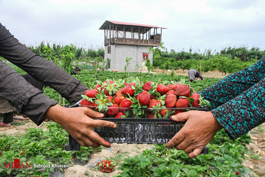 برداشت توت فرنگی در مازندران