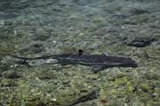 تصاویر | کوسههای بیخطر در سواحل کیش
