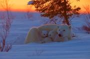 عکس | آغوش گرم خرس قطبی در عکس روز نشنال جئوگرافیک