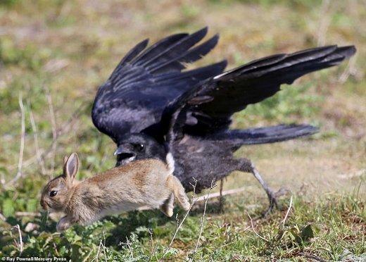 شکار ناموفق خرگوش توسط کلاغ