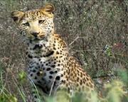 پلنگ آفریقای جنوبی بجای پلنگ جنگل فسا