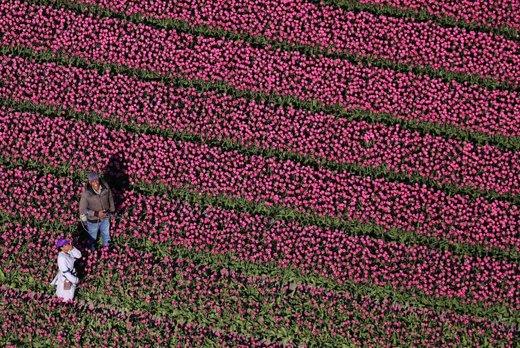 مزارع گل لاله در هلند