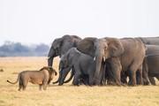 تصاویر | جدال دیدنی از نبرد شیر و فیلها