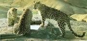 عکس | ۳ پلنگ ایرانی در پارک ملی توران