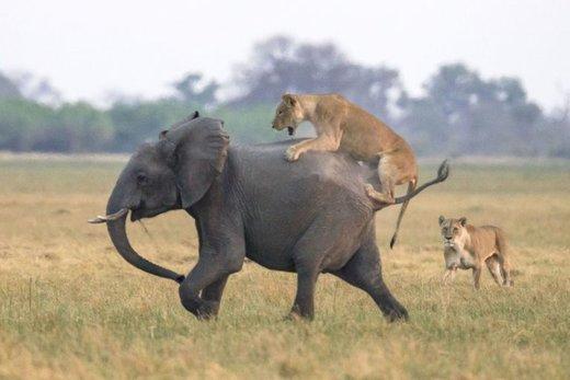شکار ناموفق شیرها در رویارویی با گله فیلها