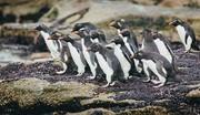 تصاویر | جزایر خطرناکی که یک میلیون پنگوئن دارد!