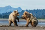 تصاویر | شیطنت ۲ توله خرس در آلاسکا