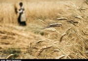هواشناسی: گندمهای درو شده را سریع به انبارها ببرید