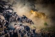 تصاویر | شیرهای روبه انقراض آفریقا