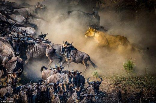 شیرهای روبه انقراض آفریقا