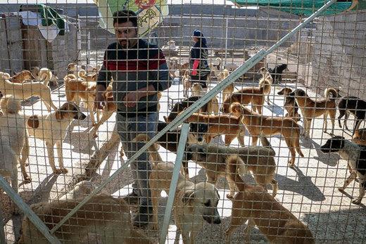۳۰ سال غیرعلمی با سگهای ولگرد برخورد شد/ وجود ۴۰۰۰ سگ ولگرد در اهواز