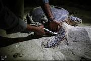 تصاویری دیدنی از تخمگذاری و تولد جوجه لاکپشتهای پوزه عقابی در کیش