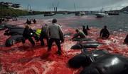 تصاویر | شکار ۲۵۰ نهنگ و دلفین دریای خون به راه انداخت!