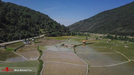 آمادهسازی و کاشت برنج در کشتزارهای مازندران