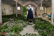 تصاویر | پرورش کرم ابریشم در سبزوار