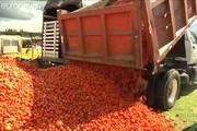 فیلم |  جنگ کلمبیاییها با گوجه فرنگیهای گندیده!