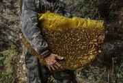 تصاویر | کار سخت زنبورداران برای شکار عسل از بزرگترین زنبور عسل جهان