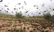 خرید تضمینی ملخ صحرایی راه حل مبارزه علمی با آفت است؟
