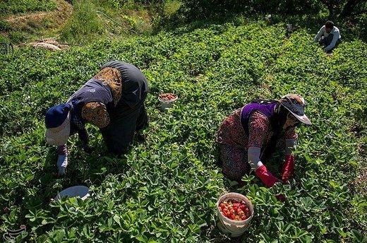 برداشت توت فرنگی از مزارع کردستان