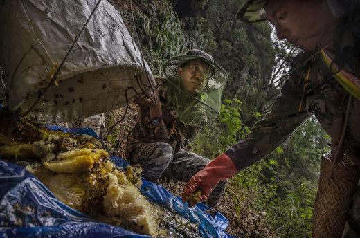 شکار عسل از مناطق کوهستانی استان یوننان چین