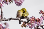 عکس | عاشقانه بهاری ۲ پرنده در عکس روز نشنال جئوگرافیک