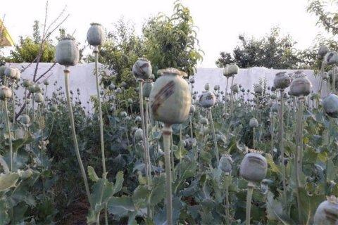 مزرعه خشخاش در مشهد چطور لو رفت؟