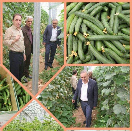تولید سالانه ۵۰ تن خیار در مجتمع گلخانه ای دیناروند