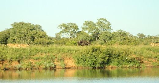 رویارویی کل یالدار با شیرها در پارک ملی کروگر
