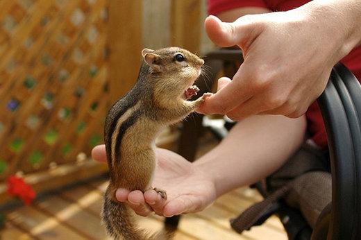 حیوانات وحشی,فروش سنجاب,سنجاب,فروش قاچاقی سنجاب مقابل مترو تجریش,فروش قاچاقی سنجاب