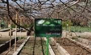 دستیابی زنجانیها به کاشت و پرورش موفقیتآمیز نهال ارس