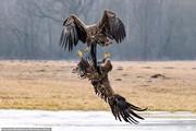 تصاویر | زورآزمایی عقابها برای سلطنت