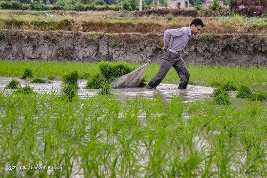 نشاء برنج در گلستان