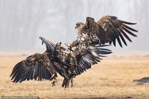 جنگ عقابها در لهستان