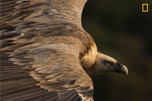 پرواز کرکس در آسمان پارک ملی Monfragüe اسپانیا، برنده اول مسابقه عکاسی نشنال جئوگرافیک ۲۰۱۹ در بخش طبیعت