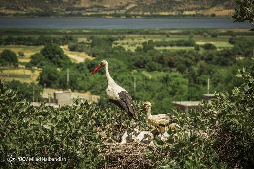 لکلکهای سفید در کردستان