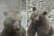دومین ضارب توله خرس دستگیر شد