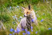 عکس | روباه ایرانی