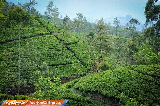 درآمد باورنکردنی سریلانکا از تولید چای
