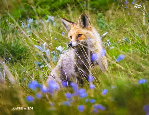 یکی از زیباترین حیوانات وحشی در ساری دیده شد