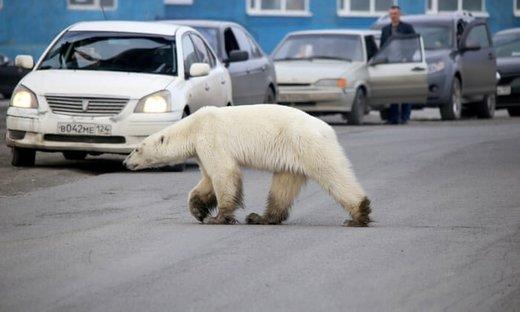 پرسه خرس قطبی گرسنه در منطقه مسکونی سیبری/ عکس