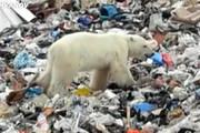 فیلم | زبالهگردی خرس قطبی در روسیه!